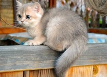 Blue Golden Shaded (Chinchilla) British Shorthair ay11